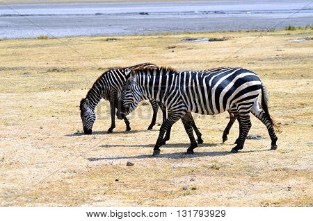 Two zebras which grazes in the meadow of a park in Tanzania.
