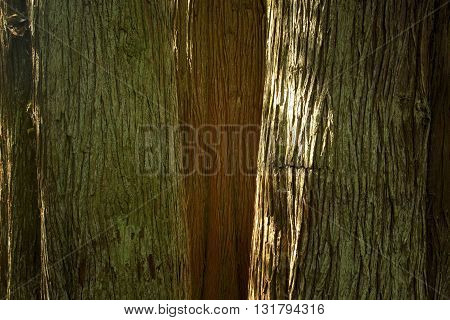 a picture of an exterior Pacific Northwest of Western red cedar tree trunks