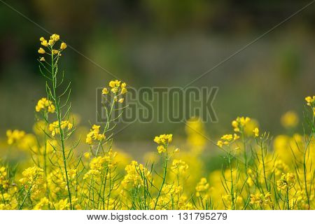A field of mustard flowers in Kashmir India. Mustard seed is a major agricultural product.