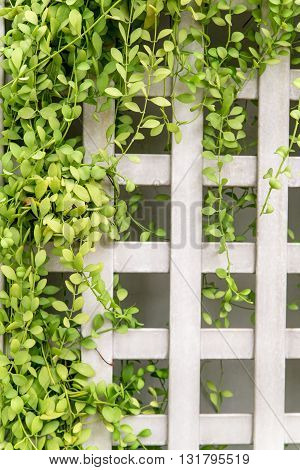 Square trellis fence with vines creeping along it. Home and gardening design concept.