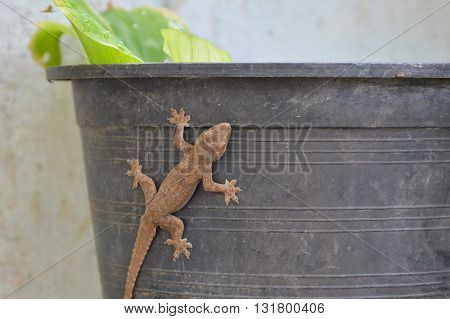 lizard climbing on plastic flowerpot in garden