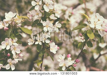 Blossom apple tree in garden in retro style