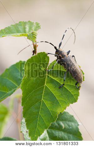 Beetle barbel on a leaf of birch