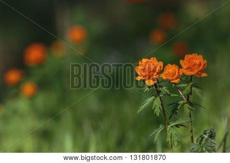 Globe-flower (Trollius asiaticus L) - Siberian primroses