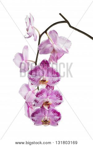 Blooming motley orchid isolated over white background.