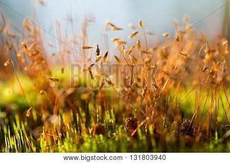 Brown macro moss seeds on the grass