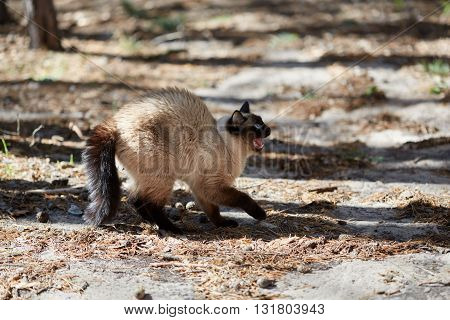 Siamese cat was frightened and hisses in the forest.