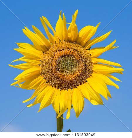 Beautiful sunflowers in the field with bright blue sky Ukraine