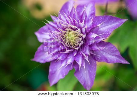 Close up photo of clematis purple flower.