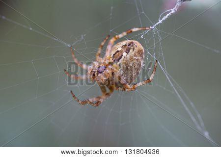 Big spider sitting on a thin cobweb