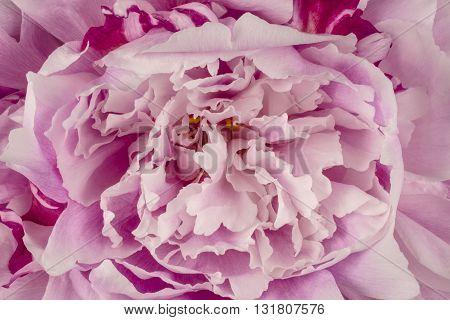 Pink Peony Flower Petals Detail Horizontal Photograph