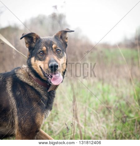 Mixed breed dog portrait outdoor with open mouth
