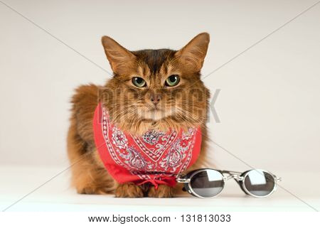 Somali cat on white background in red bandanna with sunglasses