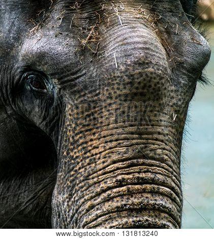 portrait of an adult elephant with sad eyes