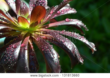 Rain drops on burgundy Aeonium succulent leaves