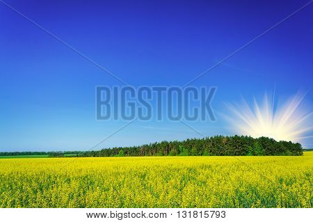 Fine field of yellow rapefield and green copse.
