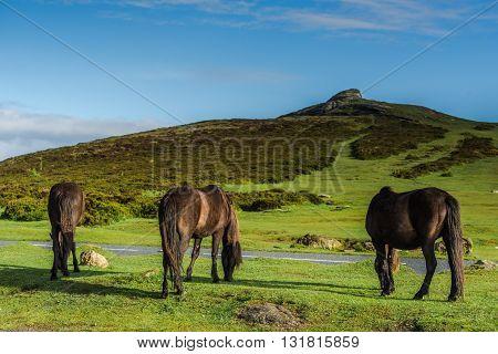 Wild Pony Horses Grazing