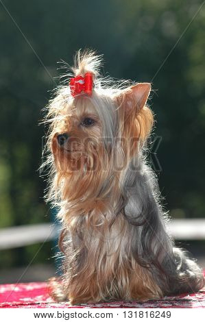 Purebred yorkshire terrier portrait. It's sitting outdoor at summer