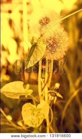 Two nice white dandelions in golden light