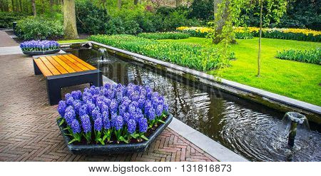 Fresh blooming hyacinths and tulips in the nice spring garden.Keukenhof.
