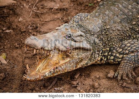Cuban Crocodile In Natural Wild Enviroment