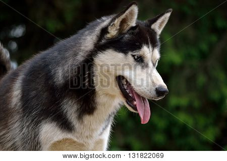 Close up of a watchful Husky - Dog Portrait