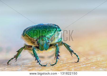 head of green insect Chlorocola africana smaragd bug