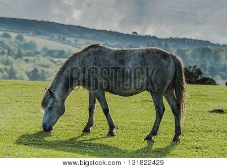 White Wild Pony Horse Grazing On Grass