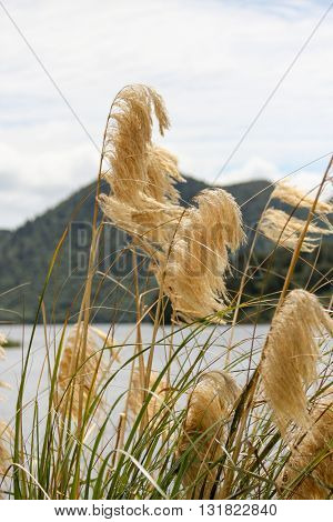 Close up of feathered reed grass on lake in Rotorua New Zealand
