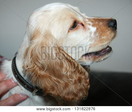Cocker spaniel head and shoulders side view close up 2