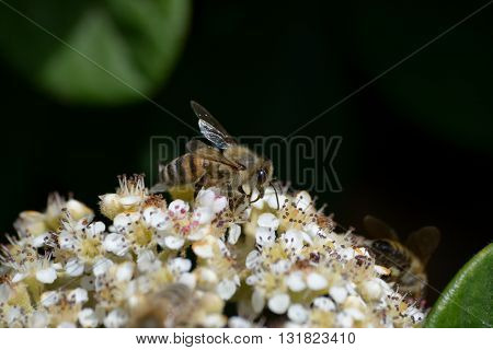 Bee pollinates white yellow flowers in front of dark background