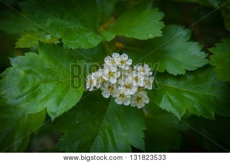 White hawthorn flowers on the street in summer