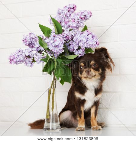 brown chihuahua dog with lilac flowers indoors