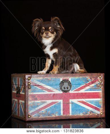 brown chihuahua dog sitting on a box