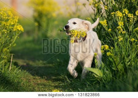 happy golden retriever puppy running outdoors in summer