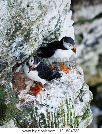Puffins are any of three small species of alcids in the bird genus Fratercula with a brightly coloured beak during the breeding season. These are pelagic seabirds that feed primarily by diving in the water.
