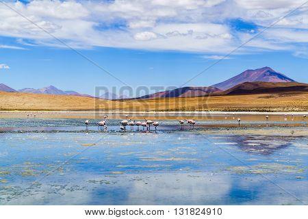 Flock of flamingo birds eating in the laguna Uyuni Bolivia