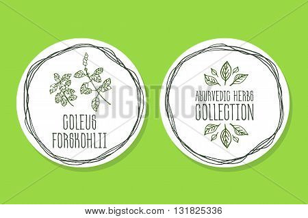 Ayurvedic Herb Collection. Handdrawn Illustration - Health and Nature Set. Natural Supplements. Ayurvedic Herb Label with Coleus forskohlii