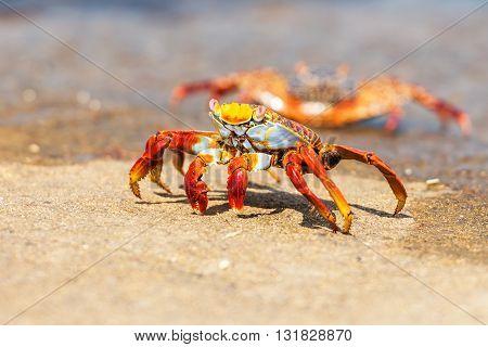 Sally Lightfoot Crab On Galapagos Islands