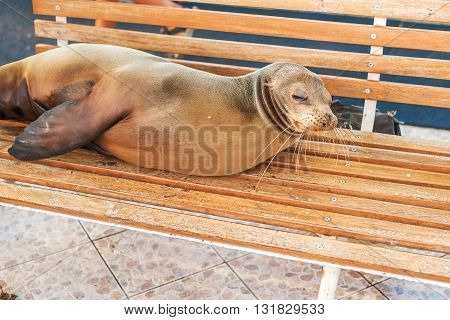 Sea Lion On A Bench, Galapagos Islands