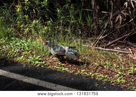 View of a male Kaliij Pheasant on the side of the street in Big Island, Hawaii