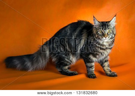 black maine coon cat on yellow background.