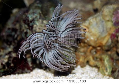 Feather Duster Worm (sabellastarte Spectabilis)