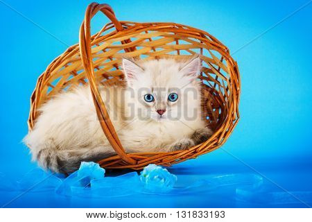 Neva masquerade kittens in basket on blue.