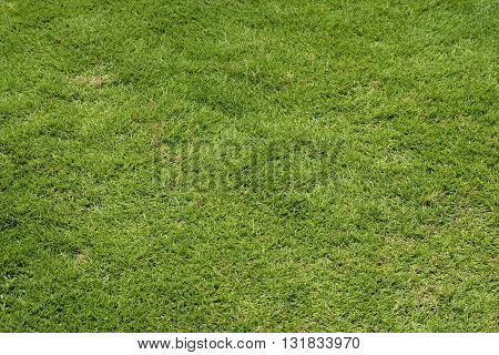 Green lawn grass background at Georgia, USA.