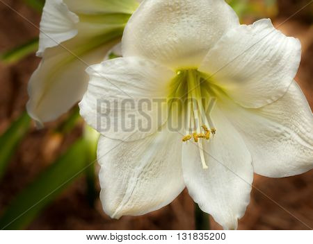 Creamy white Amaryllis flower with soft background