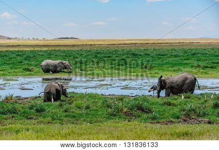 Elephants  drinking water in  Masai Mara resort park in Kenya Africa