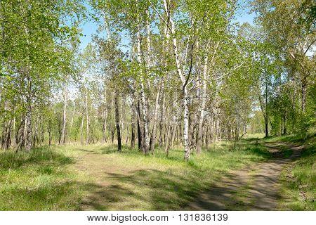 Birch grove and footpath. Split paths. Springtime