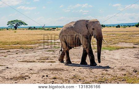 Elephant in Masai Mara reserve in Kenya Africa