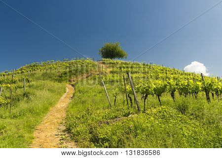 Hill with vineyard at Montevecchia (Lecco Brianza Lombardy Italy) at spring